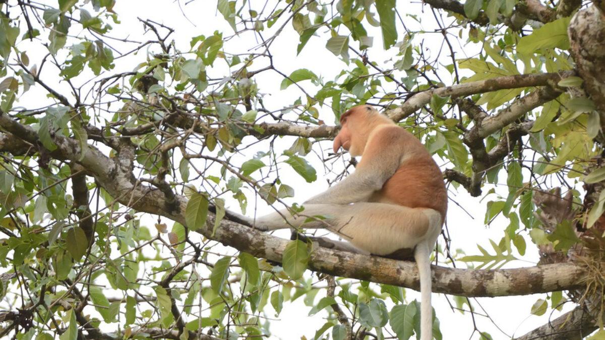 4 espèces de grands singes sur 6 vont disparaitre d'ici 25 à 50 ans !