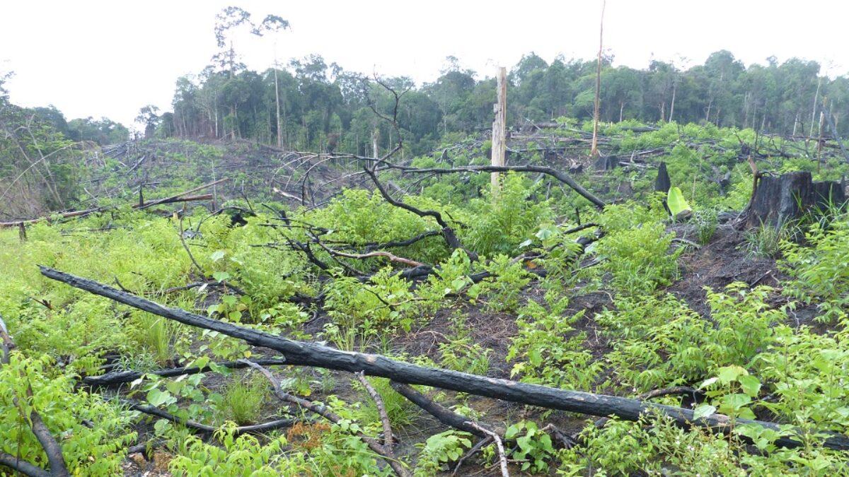 Bornéo, un nouveau projet de loi menace la survie de ce qui reste de la forêt tropicale