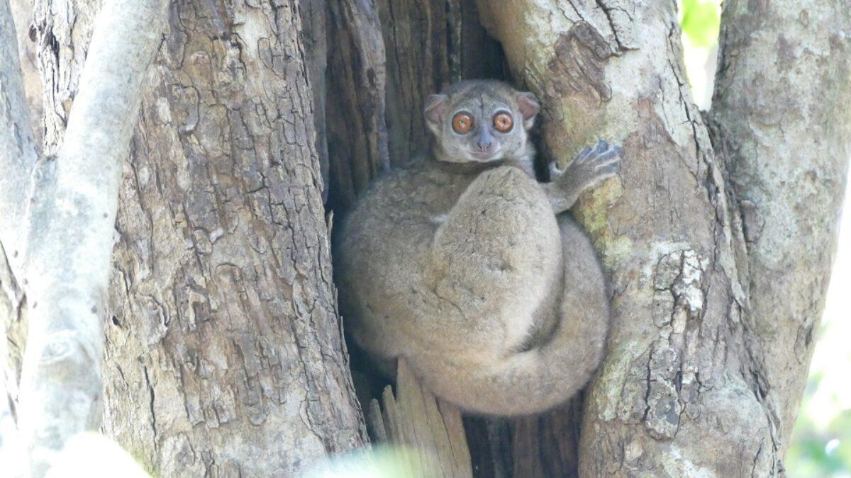 Vers une disparition inéluctable de plus de 80% des lémuriens à Madagascar ?