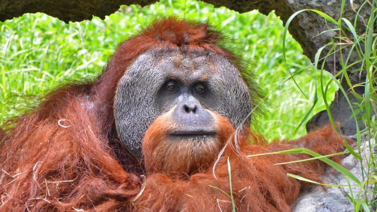 Orangs-outans : vers une disparition inéluctable à Bornéo ?