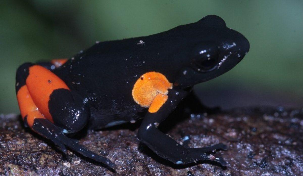 Comment préserver les amphibiens de Madagascar ?