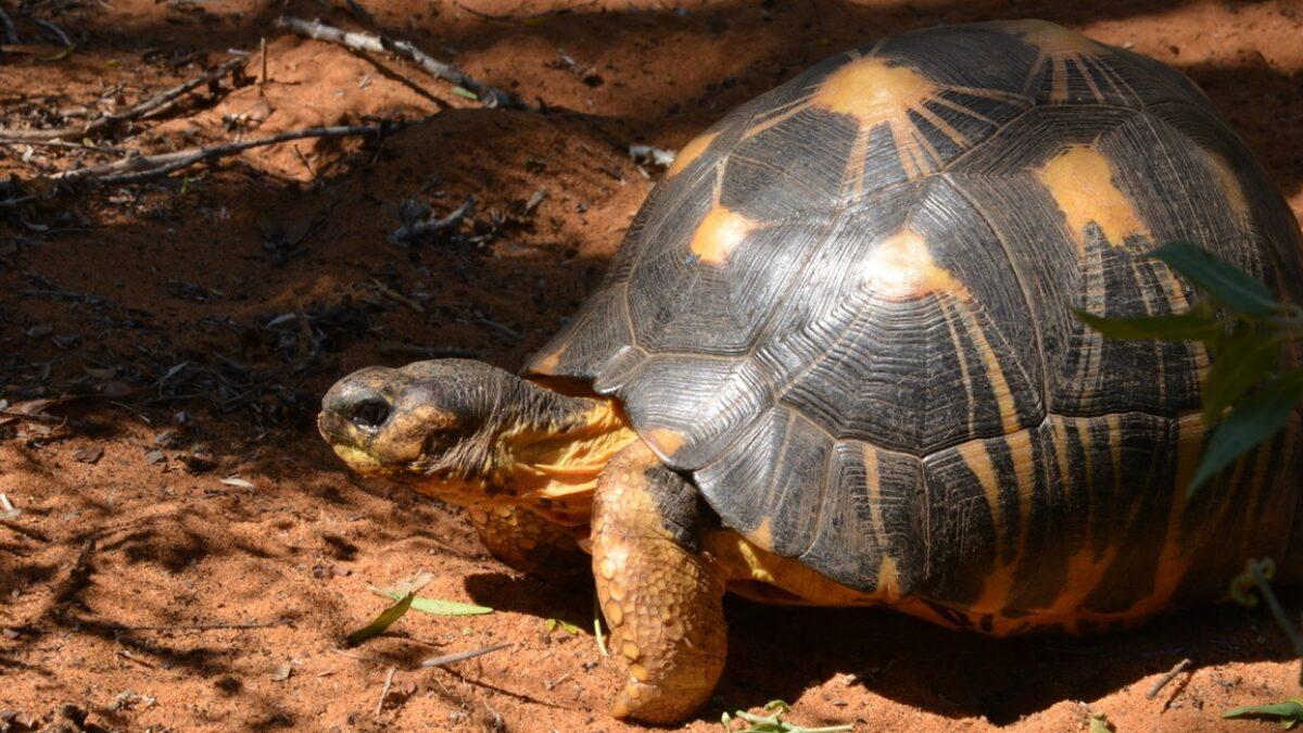 La SOPTOM et Univet Nature solidaires des Tortues étoilées de Madagascar