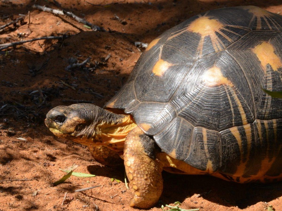 Un site clé pour la conservation des Tortues : le village des Tortues de Mangily (près de Tuléar à Madagascar)