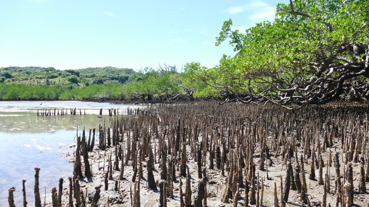 Les mangroves, entre mer et littoral tropical