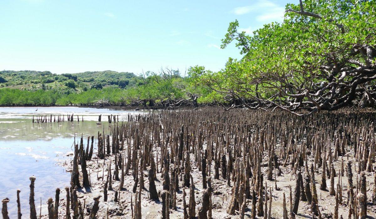 Les mangroves, entre mer et littoral tropical