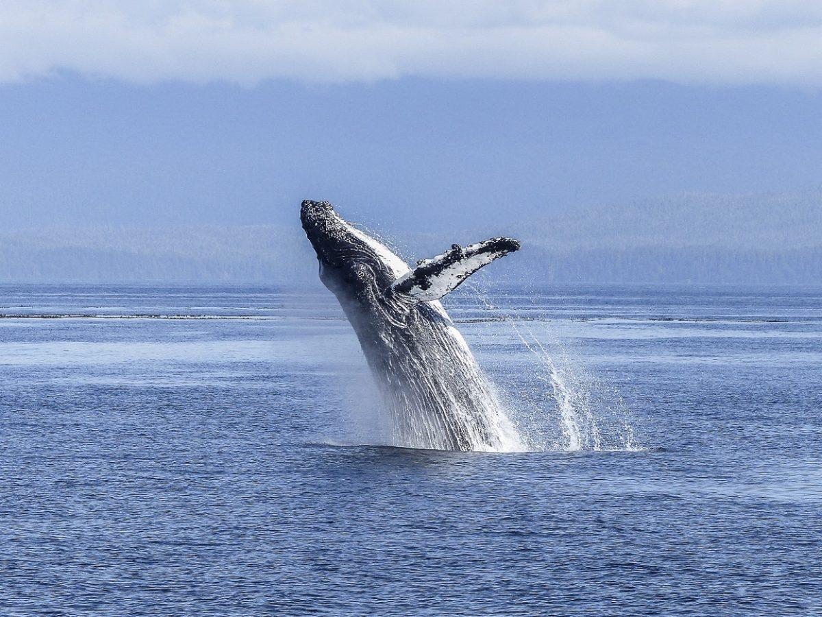 En soutenant CETAMADA, Univet Nature et les vétérinaires d'UNIVET se mobilisent pour la protection des baleines à Madagascar