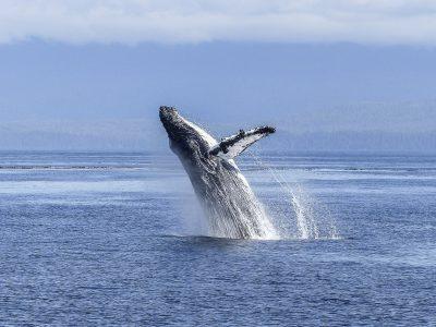 En soutenant CETAMADA, Feralis et les vétérinaires d'UNIVET se mobilisent pour la protection des baleines à Madagascar