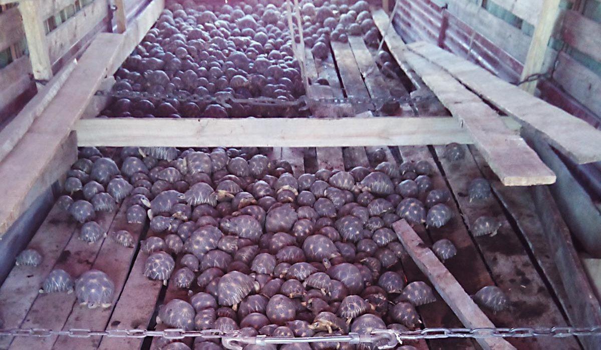 7347 Tortues étoilées encore saisies par les douanes à Madagascar. Turtle Survival Alliance, la SOPTOM et Univet Nature se portent à leur secours