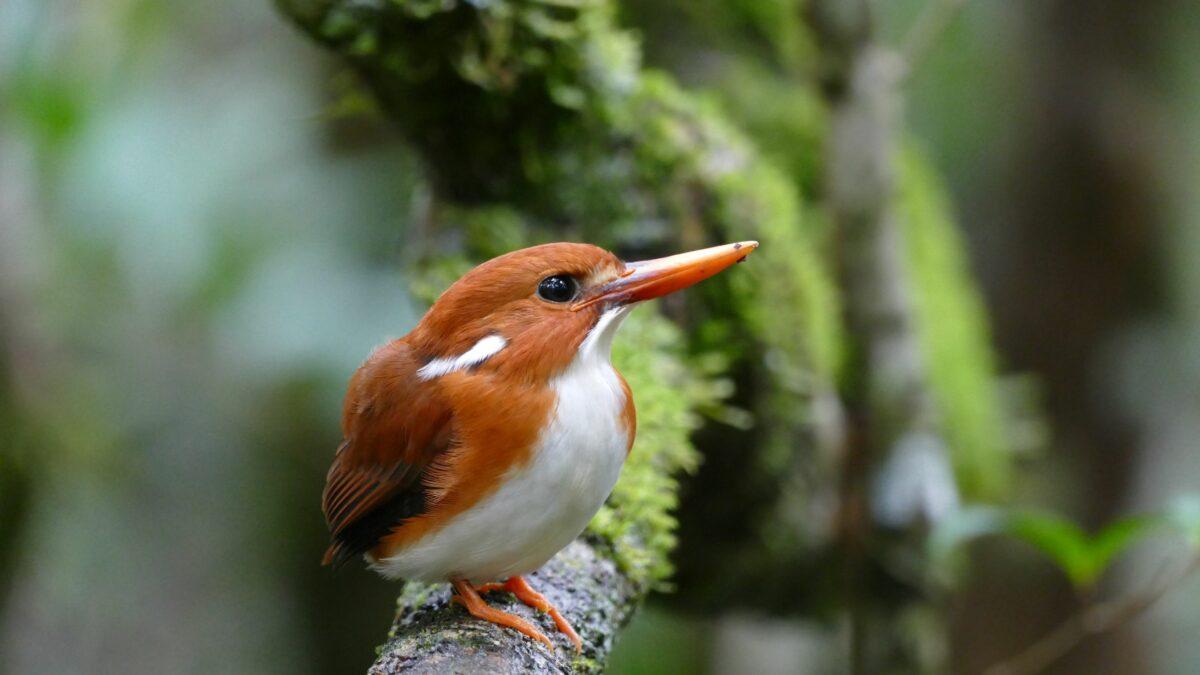 Les oiseaux de Madagascar