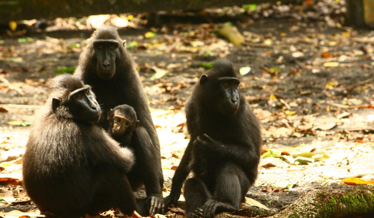 Le macaque à crête en danger critique d'extinction en Indonésie