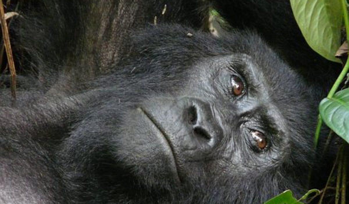 Les effectifs du gorille des montagnes augmentent…