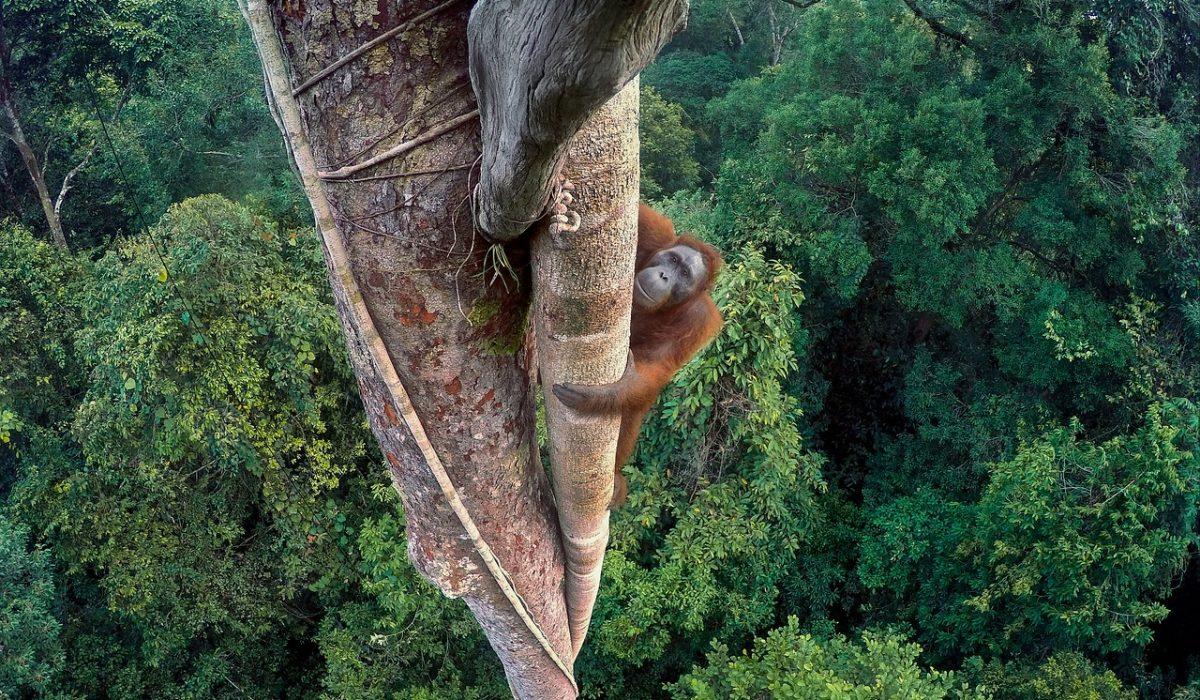 Hutan, 20 ans au service des Orang-outans !