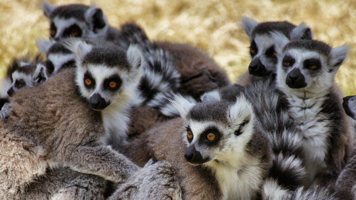 Les lémurs cattas célébrés comme une icône… mais encore menacés de disparition.