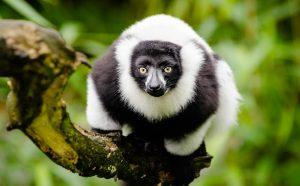 Vari de Madagascar
