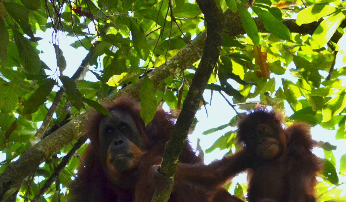 Le Parc National du Gunung Leuser (Sumatra – Indonésie)