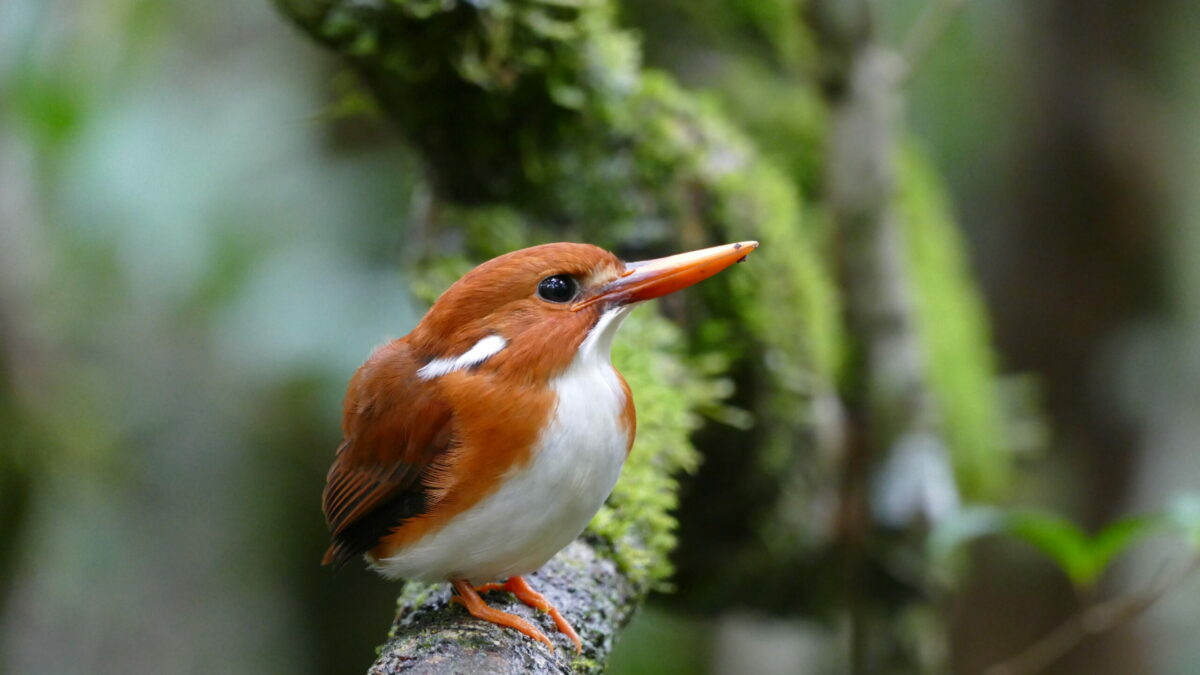 Partez à la découverte des oiseaux de Madagascar