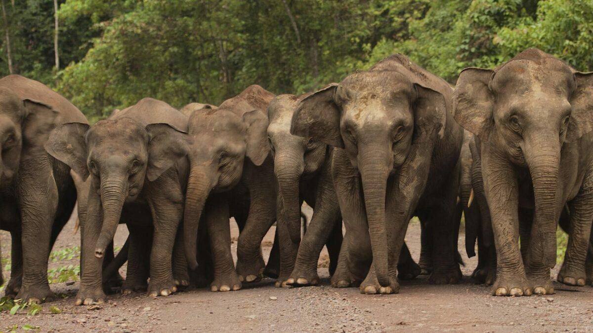 HUTAN, pour une coexistence de la faune sauvage avec les habitants de Sabah (Malaisie)