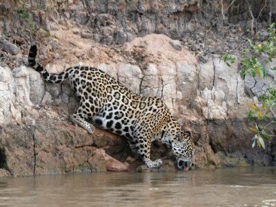 Panthera, une ONG entièrement dévouée à la conservation des félins dans le monde