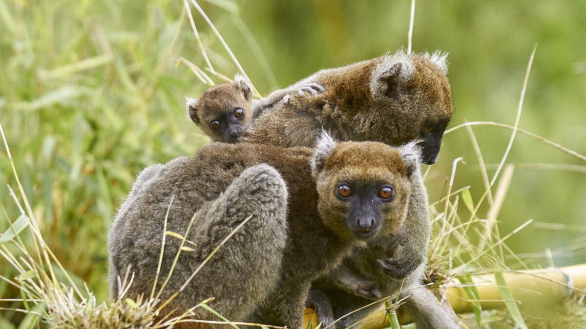 Sauvetage du Grand hapalémur, un lémurien au bord de l'extinction