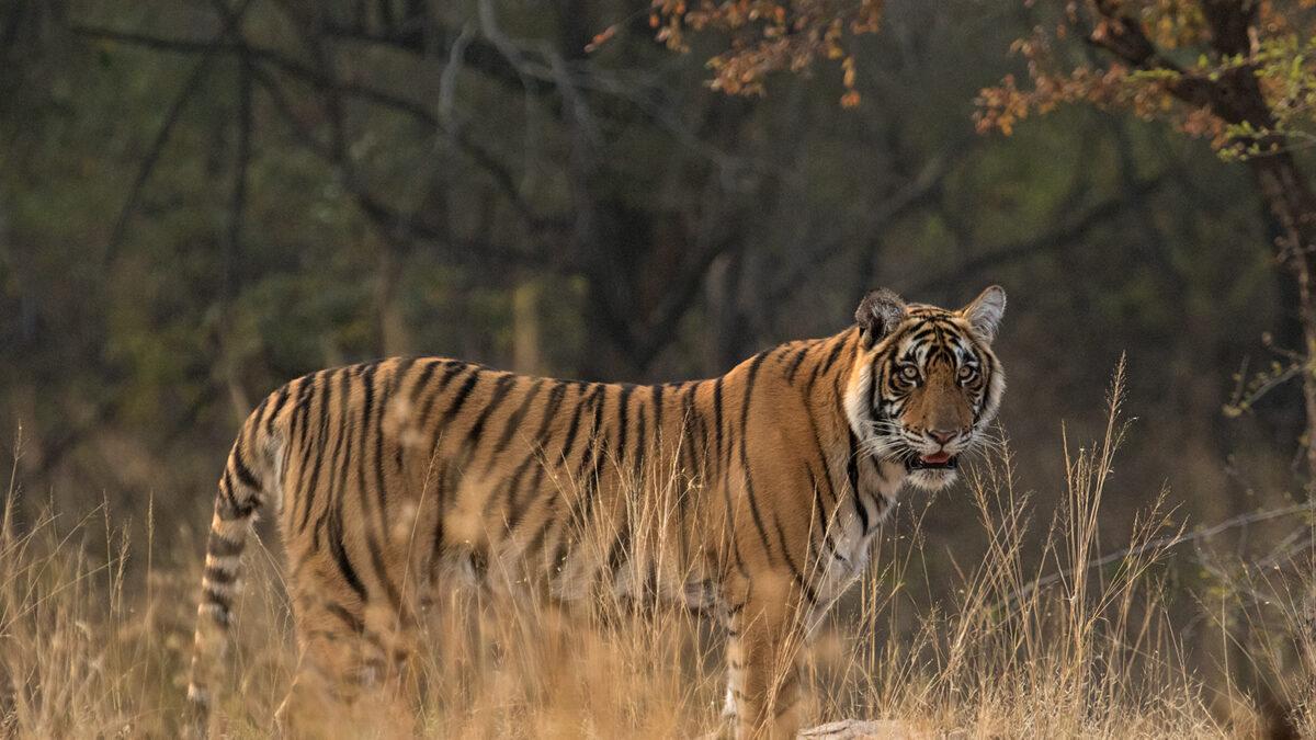 Améliorer la coexistence humains-tigres en périphérie du Parc National de Bardia au Népal