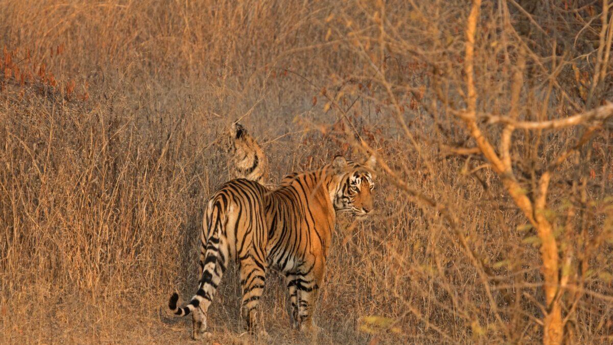 Les tigres du Népal. Retour d'expériences pour limiter leurs attaques en périphérie du parc national de Bardia