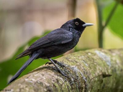 Le  Monarque de Fatu Hiva des Iles Marquises, un oiseau en voie d'extinction