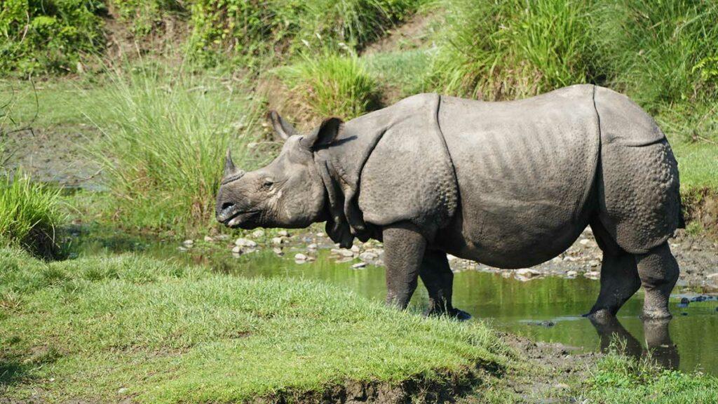 Rhinocéros d'Asie dans le Parc National de CHITWAN - Benjamin Kabouche